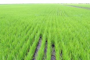 Debido a las lluvias de enero cayó la condición del arroz sembrado