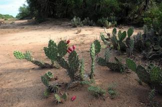 quishcaloros, típo de tuna, cactus, típica del chaco seco