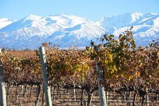 Las plantas aromáticas cercanas a los viñedos influyen en el sabor el vino