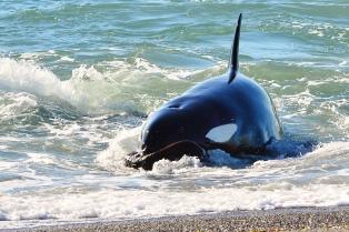 La temporada de orcas en la Península Valdés tuvo récord de avistamientos