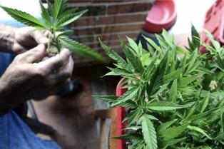 Tabacaleros se proyectan como cultivadores de cannabis con fines medicinales