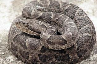 Las mordeduras de serpientes causan entre 81.000 y 138.000 muertes por año