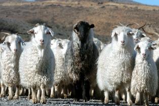 El gobierno resaltó el fomento al consumo y exportación de carne ovina