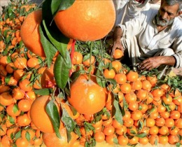 La crisis de los c�tricos es un espejo del problema de las peras y manzanas, afirman los exportadores