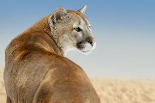 En el Bioparque platense recuperan al puma rescatado en Maipú