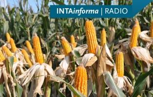 El área sembrada con maíz creció a 270.000 hectáreas