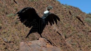 Liberarán dos ejemplares de cóndor andino rescatados en febrero