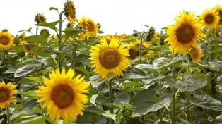La cosecha de girasol comenzó en la provincia, donde se sembraron 466.000 hectáreas