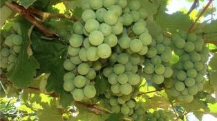 El gobierno boliviano prohibió la importación de uva y vinos por tres meses