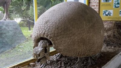 Cavaban un pozo y encontraron restos de un gliptodonte enterrado hace 10.000 años