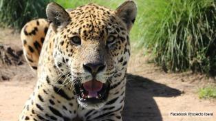 Restauración de especies en el Iberá: un proyecto único en plena marcha
