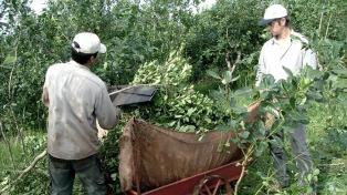 Fijan en $6.300 la tonelada de hoja verde de yerba mate para el período octubre-marzo