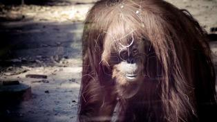 La justicia porteña decidió que la orangutana Sandra sea trasladada a los Estados Unidos