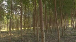Desarrollan un plan para la explotación maderera con más de 30.000 hectáreas implantadas