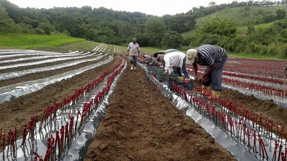 Autorizan cuatro nuevas variedades de uva de mesa desarrolladas por el inta t lam agencia - Variedades de uva de mesa ...