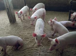 La Argentina habilitó el ingreso de carne de cerdo desde los Estados Unidos