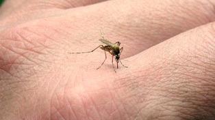 Hallaron una variable genética de mosquito Aedes aegypti