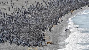 La pingüinera de Punta Tombo está a pleno con más de un millón de ejemplares