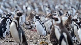 El público podrá visitar la pingüinera de Punta Tombo a partir del viernes