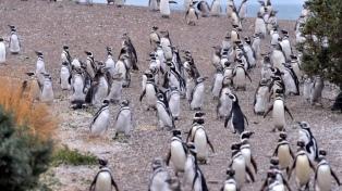 Punta Tombo inauguró una nueva temporada de avistaje de pingüinos