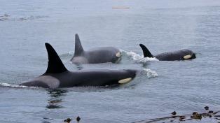 En la Península de Valdés ya se pueden avistar las primeras orcas