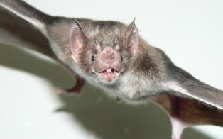 Intensifican los controles ante la aparición de dos murciélagos con rabia