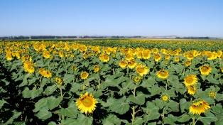El cultivo de girasol se extendió en 118.000 hectáreas