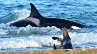 Península Valdés: comenzó la temporada de avistamiento de orcas