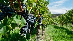 Pequeños viticultores agregan valor a su producción elaborando y vendiendo su propio vino