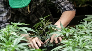 """Ordenan a Osecac que provea de cannabis """"Charlotte"""" a un niño con epilepsia refractaria"""