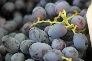 Regalaron uvas en reclamo de medidas para recuperar las cosechas