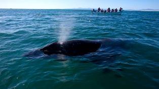 Cámaras colocadas en el lomo de las ballenas develaron que tienen una intensa vida social