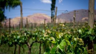 Los vinos de altura extrema tendrán su cuarta vendimia en la Quebrada de Humahuaca