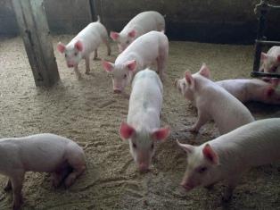 Piden al Senasa que suspenda la faena de cerdos hasta que se ponga en regla frigorífico