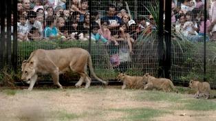 Murió la primera leona que se reprodujo en el zoológico de La Plata
