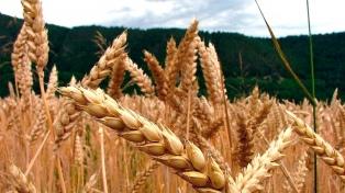 Por las lluvias, el 50% del trigo se encuentra en estado regular