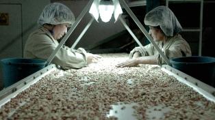 Las condiciones climáticas redujeron en un 48% la producción de maní en grano