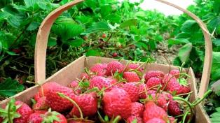 Desarrollan cultivos experimentales de frutilla para incorporar nuevas variedades