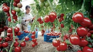 Denuncian que se perdió el 80% de la producción de tomate