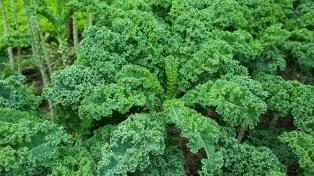 """Cómo y dónde comer kale, el """"super pariente"""" de la coliflor que aparece en las verdulerías en invierno"""