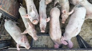 Productores porcinos y entidades del agro rechazaron la apertura del mercado argentino a la carne de EEUU