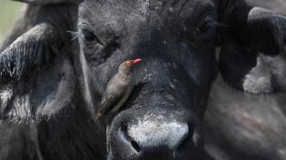 Buscan ampliar la producción de leche de búfala