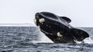 El avistaje de ballenas de Península Valdés, elegido el mejor del continente