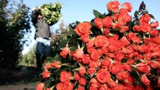 Apoyo nacional al trabajo de productores de rosas en el norte de la provincia