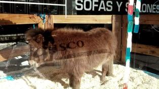 Una mueblería de Palermo fue denunciada por exhibir un pony en su vidriera