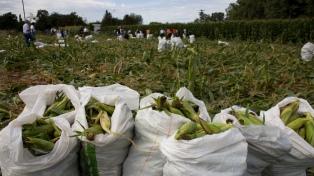 Estudiantes cosecharon 80.000 choclos para donar al Banco de Alimentos de Rosario