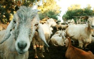 Productores ganaderos intercambiarán productos reeditando una tradición ancestral