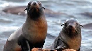 Dos lobos marinos fueron reintroducidos al mar en San Clemente del Tuyú