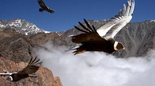 Liberarán a tres cóndores andinos en Sierra Pailemán