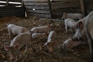 Construirán 25 criaderos porcinos para fomentar la actividad